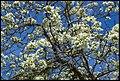 Grafton White Jacaranda-03 (22480920890).jpg