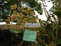 Grammatophyllummultiflorumjf9289 01.JPG