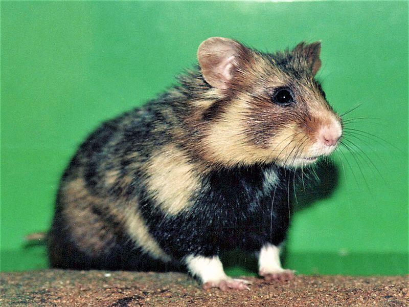 Soubor:Grand-Hamster.jpg