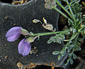 Grand Canyon Sentry Milk-Vetch 3955.jpg