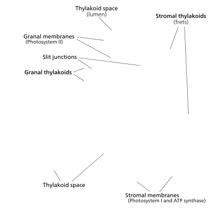 The prevailing model for granal structure.