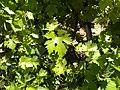 Grape vines in Galilee (5803373126).jpg