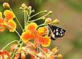 Grass Demon Udaspes folus nectaring by Dr. Raju Kasambe DSCN1591 (8).jpg