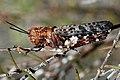 Grasshopper (3325369910).jpg