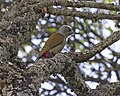 Gray-headed Woodpecker (Dendropicos spodocephalus) (16292485246).jpg