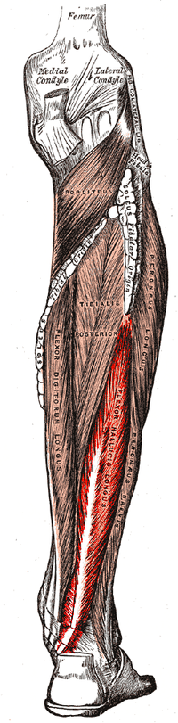 Gray439-Musculus flexor hallucis longus.png
