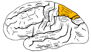 Gray726 superior parietal lobule.png