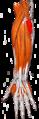 Gray — musculus anconeus.png