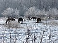 Grazing Horses in Wintertime - panoramio.jpg