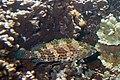 Greasy grouper Epinephelus tauvina (5849449552).jpg