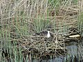 Great Crested Grebe on nest , Womack Water - geograph.org.uk - 403461.jpg