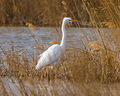 Great Egret (Ardea alba) (8521270128).jpg
