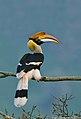 Great Hornbill female.jpg