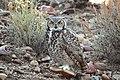 Great Horned Owl on Seedskadee National Wildlife Refuge (21715862684).jpg