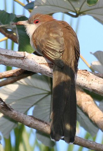 Cuckoo - The great lizard cuckoo is a large insular cuckoo of the Caribbean