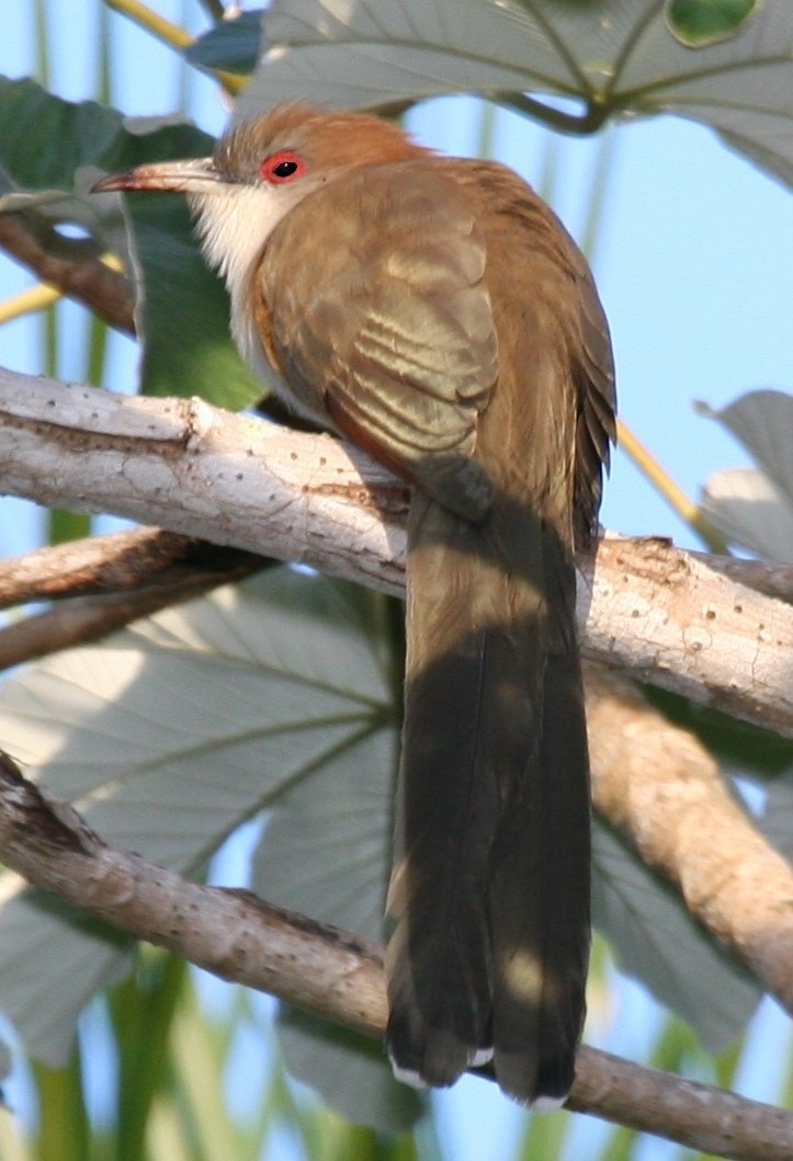 Great Lizard-cuckoo (Coccyzus merlini), cropped