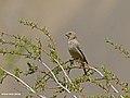 Great Rosefinch (Carpodacus rubicilla) (28044274416).jpg