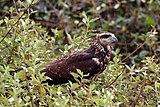 Great black hawk (Buteogallus urubitinga) immature.JPG