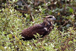 Great black hawk - Image: Great black hawk (Buteogallus urubitinga) immature