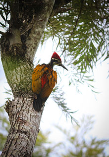Greater Flameback Woodpecker (male).jpg