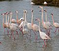 Greater Flamingoes (Phoenicopterus roseus) - Flickr - berniedup.jpg
