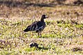Greater white-fronted goose (38708162444).jpg