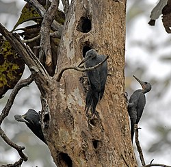 Greatslatywoodpecker.jpg