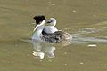Grebe with chick (6411046021).jpg