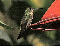 Green-and-White Hummingbird.jpg
