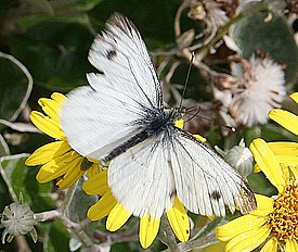 Green-veined White Butterfly (Pieris napi) - geograph.org.uk - 215968.jpg