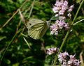 Green-veined White butterfly on the Sussex Border Path - geograph.org.uk - 1424646.jpg
