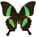 Green Banded Peacock (Papilio palinurus) (8367029867).jpg