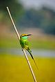 Green Bee Eater (সুই চোরা)..jpg