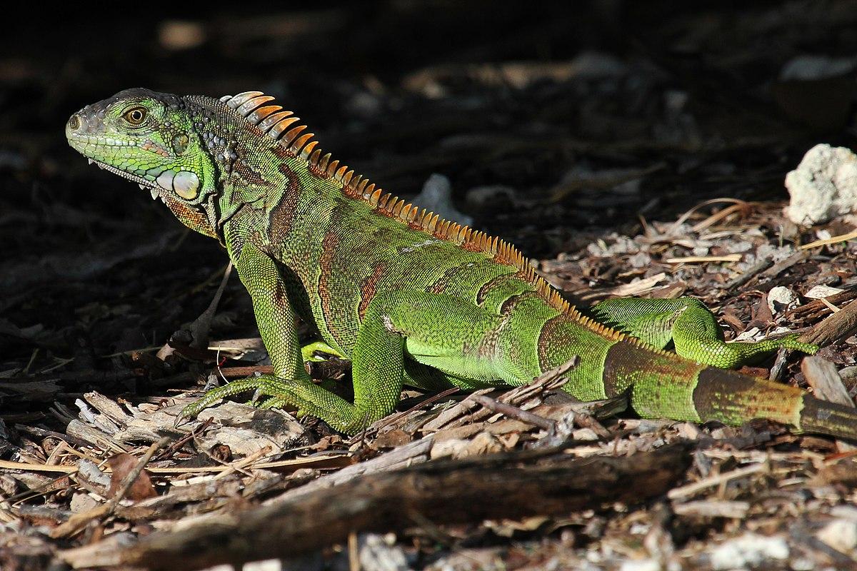 File:Green Iguana - Iguana iguana, Fairchild Tropical ...