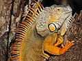 Green Iguana - Iguana iguana, Fairchild Tropical Gardens, Coral Gables, Florida (38862506201).jpg