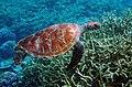 Green turtle (12197897325).jpg