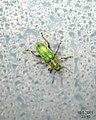 Green weevil (5709829984).jpg
