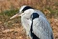 Grey Heron Mohawk Profile (189581619).jpeg