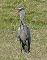 Grey Heron panting in this Summers heatwave - Flickr - gailhampshire.jpg