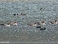 Greylag Goose (Anser anser) & Eurasian Coot (Fulica atra) (32118869123).jpg