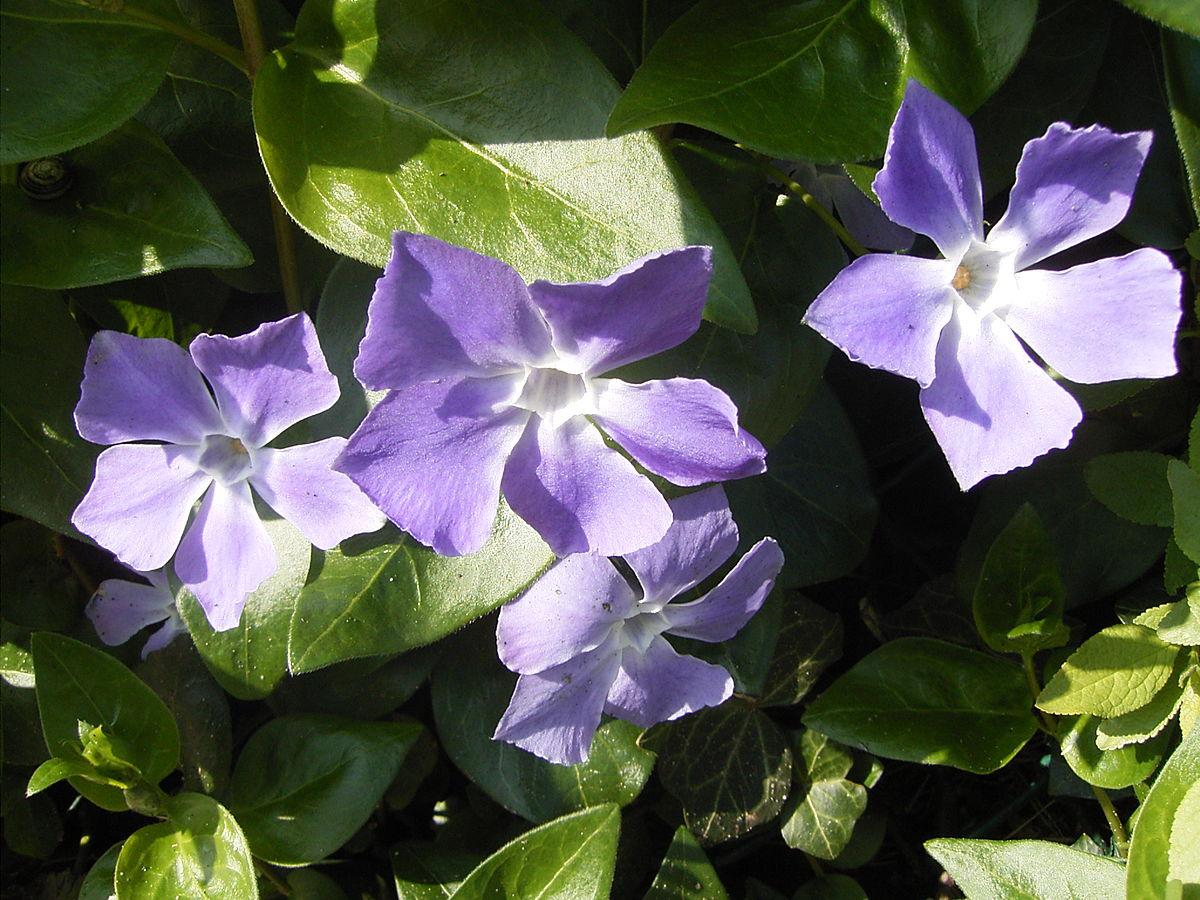 Planta perenne wikipedia la enciclopedia libre for Arboles para veredas hojas perennes