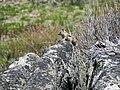 Ground squirrel in Sawtooth National Forest.jpg