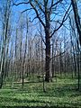 Group of 10 oak trees in Scoreni forest 11.jpg