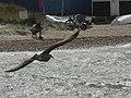 Gull on The Run - geograph.org.uk - 526255.jpg