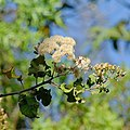 Gymnanthemum coloratum, pluime, Jan Celliers Park.jpg