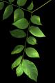 Gymnocladus dioicus 001.png