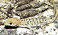 Gymnodactylus geckoides (10.3897-zoologia.37.e46661) Figures 10–15 (cropped).jpg