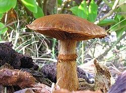 Gymnopilus junonius-02.jpg