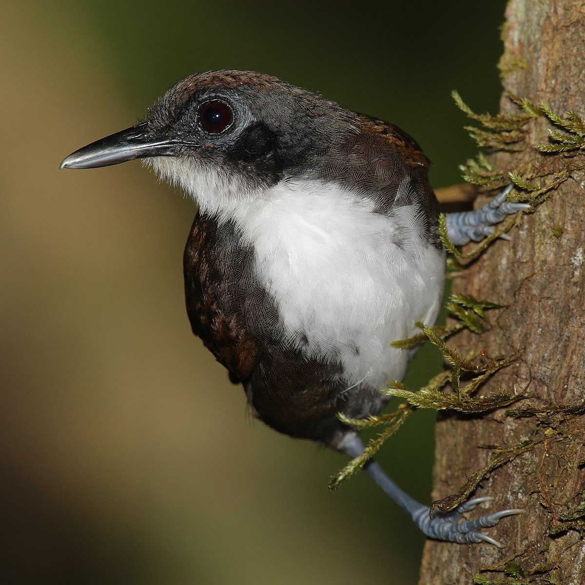 Antbird Stock Photo Images. 4 Antbird royalty free ...