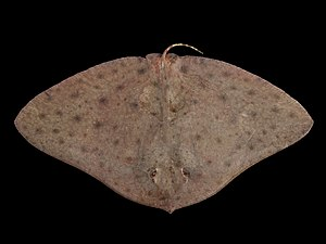 Butterfly ray - Smooth butterfly ray (''G. micrura'')